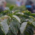 """Honduras 2014 Coffee Hunting Tour, Magnolia Coffee Roasters • <a style=""""font-size:0.8em;"""" href=""""http://www.flickr.com/photos/37169974@N03/13347095214/"""" target=""""_blank"""">View on Flickr</a>"""