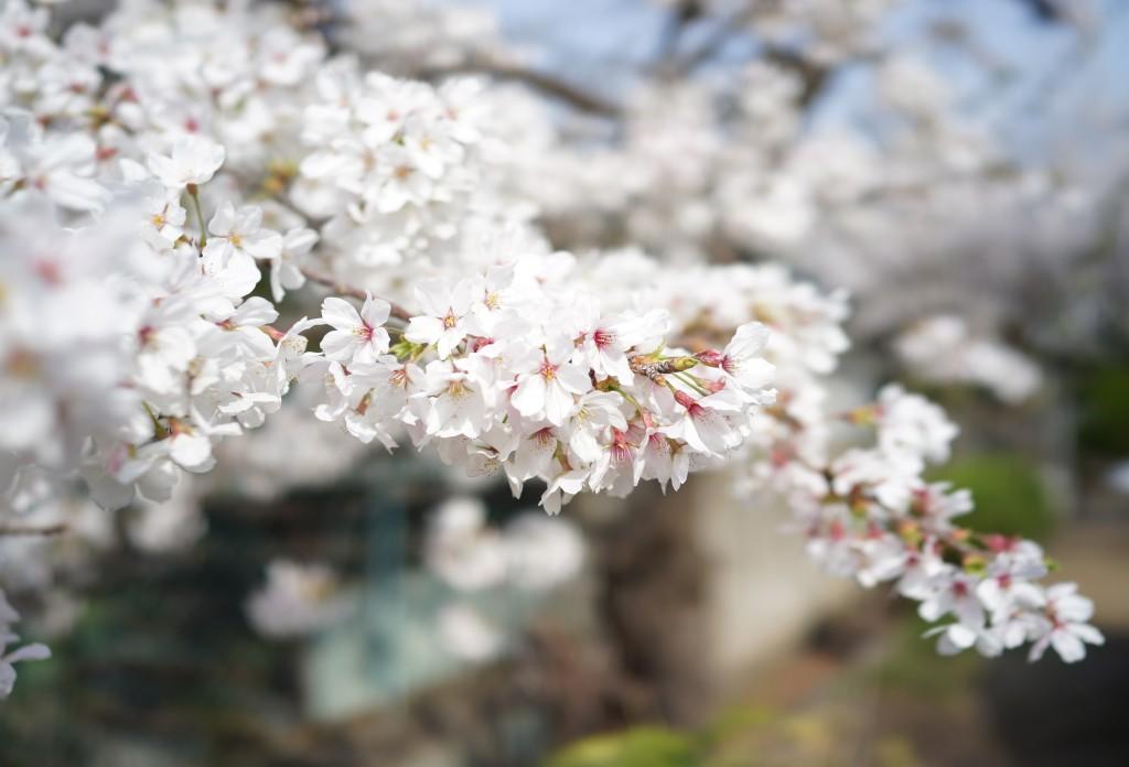 sakura_2013_magnoliacoffee