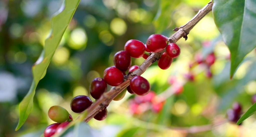 スペシャルティコーヒーの生産国へ ⑧ ホンジュラス編
