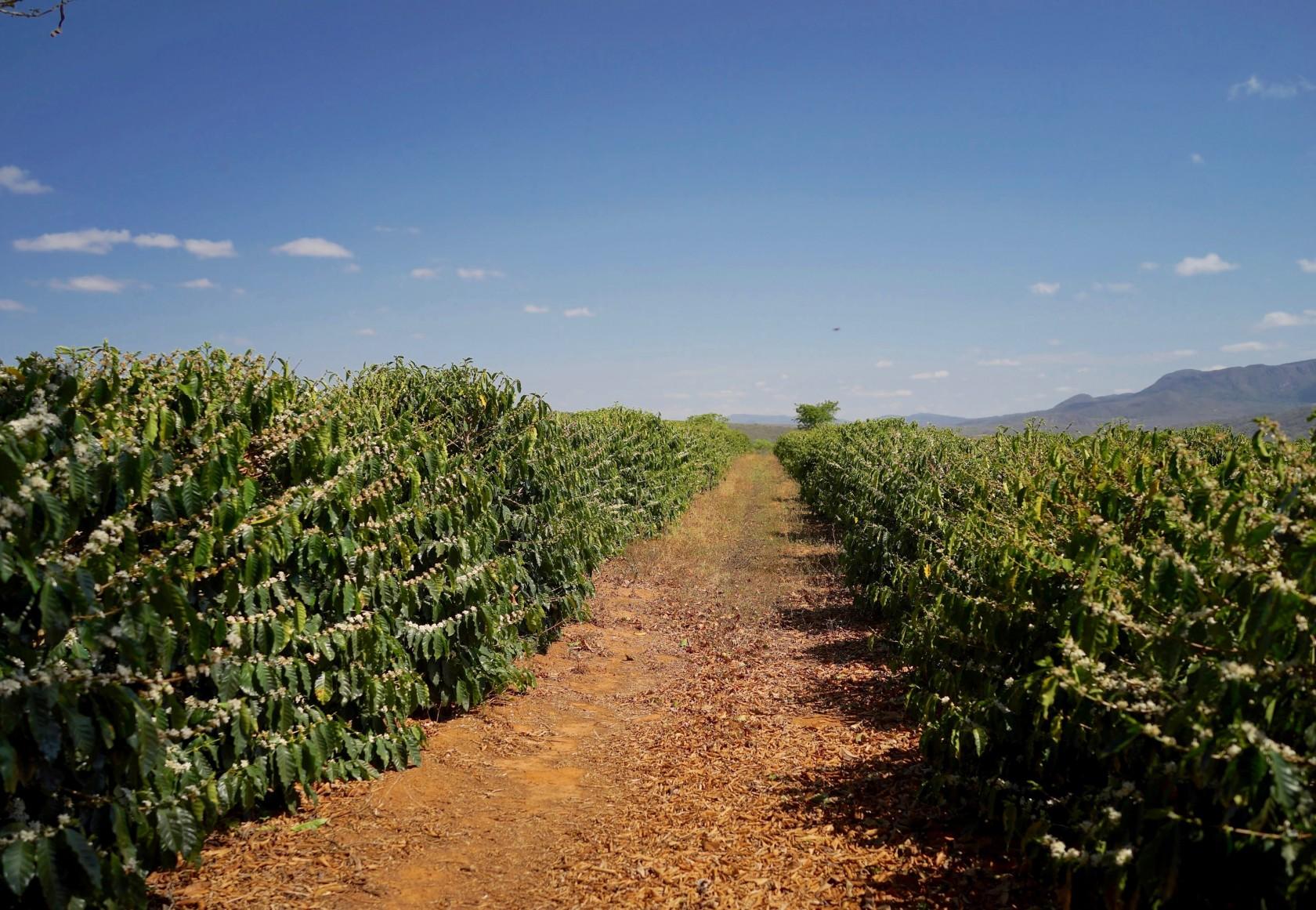ブラジル スペシャルティコーヒー素材調達2015バーイア