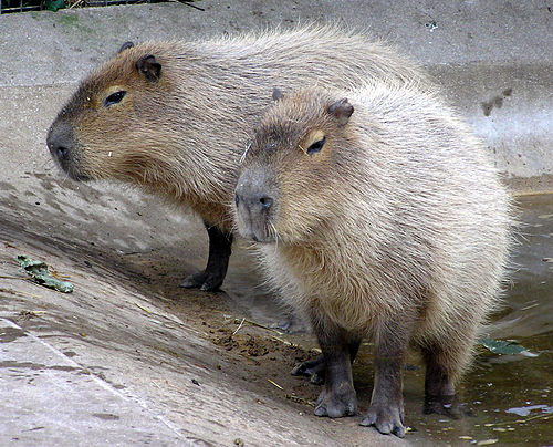 500px-Bristol.zoo.capybara.arp